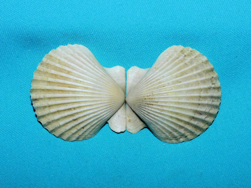 "Argopecten evergladesensis 1 3/4"" or 46.40mm.Superb! #16878"