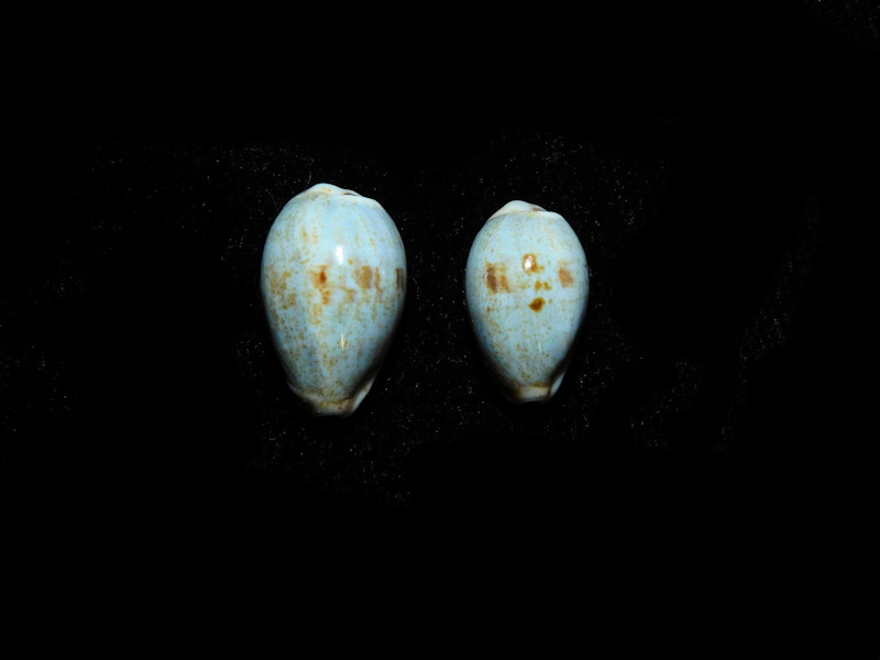 Purpuradusta gracilis hilda (2) 17.35mm. & 15.03mm. Lot#16841