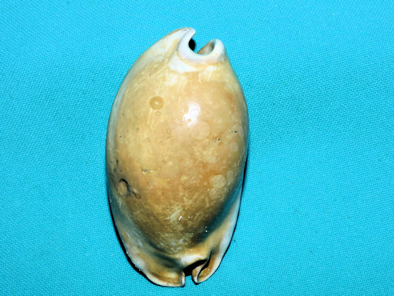 "Akleistostoma macbrideae 2 7/8"" or 71.16mm.. ""Choice""#600057"