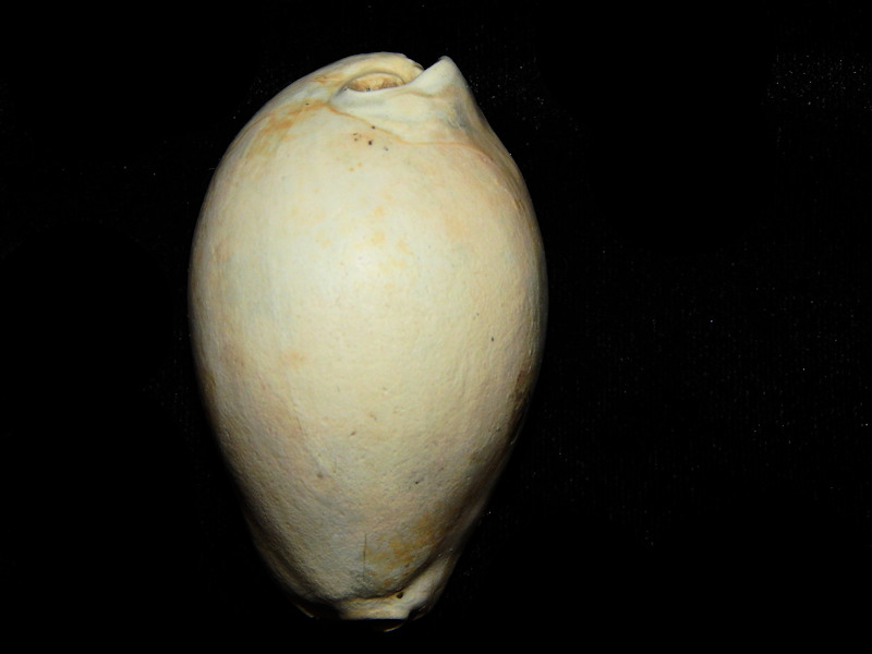 "Siphocypraea (Lokossea) mulepenensis 2 ½"" or 60.92mm.-Lot#16476"
