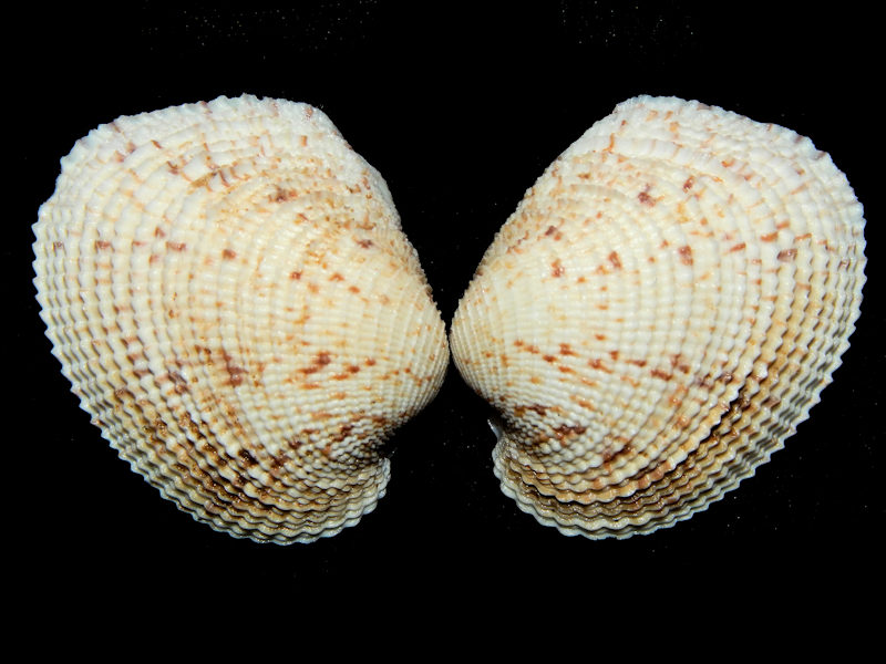 "Antigona reticulata 1 3/4"" or 44.51mm.-Tonga-Lot#16440"