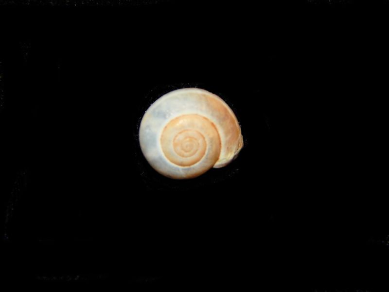 Monacha syriaca -Land Snail From Israel-Lot # 10576