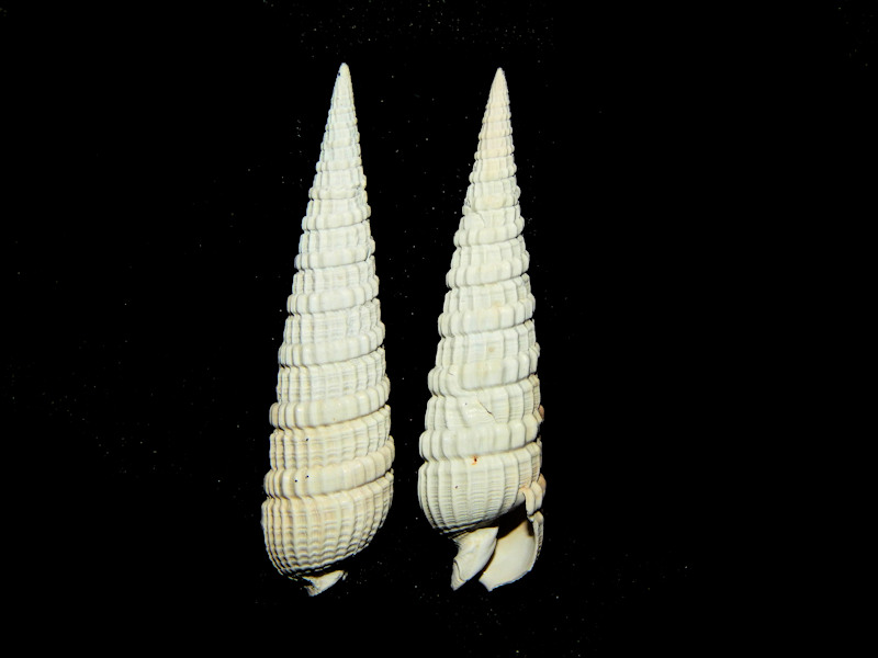 Strioterebrum onslowensis (2) 48.35mm & 47.32mm.-Lot#16514