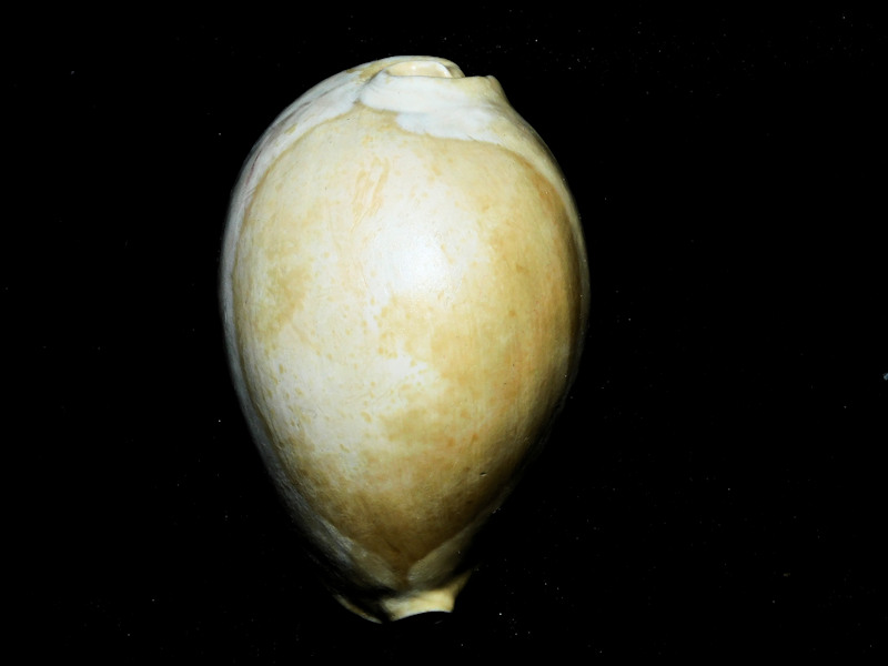 "Siphocypraea mulepenensis 2 5/8"" or 64.20mm. ""Gorgeous""#16905"